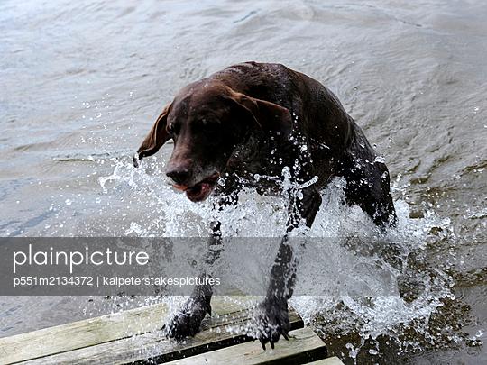 Ein Hund planscht im Wasser - p551m2134372 von Kai Peters