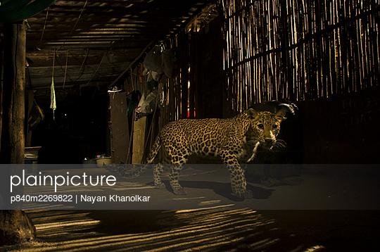 Leopard (Panthera pardus) in city at night, Mumbai, India.  December 2018. - p840m2269822 by Nayan Khanolkar