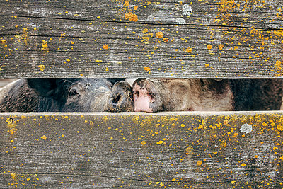View of pig's snouts seen through wooden fence - p1166m1542273 by Cavan Social