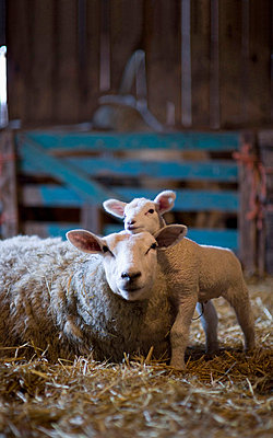 Sheep and lamb lying on hay in barn - p30020776f by Klaus Mellenthin