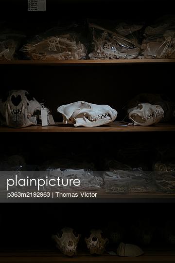 Animal skulls and bones - p363m2192963 by Thomas Victor
