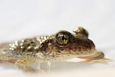 Toad half-submerged in water, close-up - p624m1045639f by Odilon Dimier