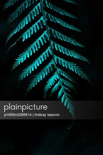 A Fern Against a Black Background - p1655m2289514 by lindsay basson
