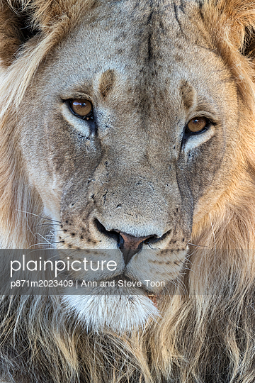 Lion (Panthera leo) male, Kgalagadi Transfrontier Park, South Africa, Africa - p871m2023409 by Ann and Steve Toon