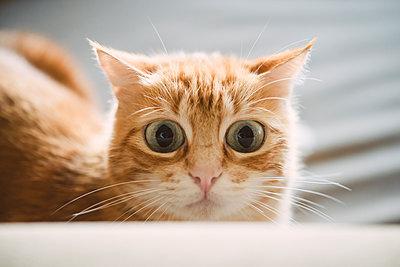 Portrait of starring ginger cat - p300m2167456 by Ramon Espelt