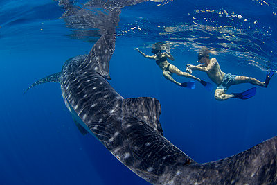 Two tourists snorkelling with a whale shark (Rhincodon typus), in Honda Bay, Palawan, The Philippines, Southeast Asia - p871m2122893 by Duncan Murrell