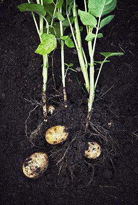 Potatoes - p312m992875f by Matilda Lindeblad