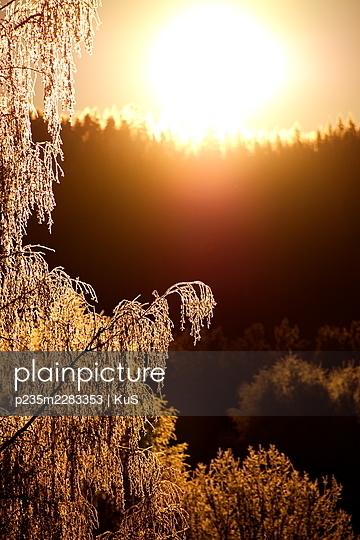 Raureifbedeckte Birke schimmert im Licht der aufgehenden Sonne - p235m2283353 von KuS