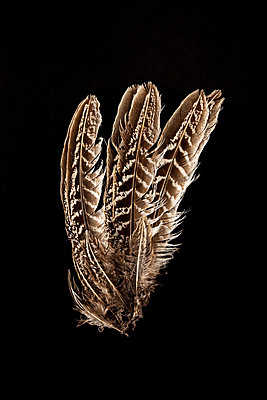 Feathers of a birds wing on a black background - p1302m2204338 von Richard Nixon