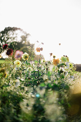 Wiesenblumen im Sonnenschein - p586m966593 von Kniel Synnatzschke