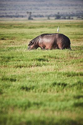 Oxpecker on hippo, Kenya - p706m2158447 by Markus Tollhopf