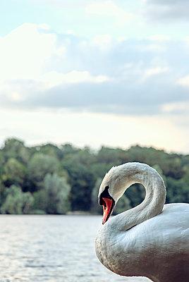 Germany, White swan - p879m2245651 by nico