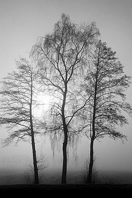 Drei Bäume im Nebel - p039m1492664 von Christine Höfelmeyer