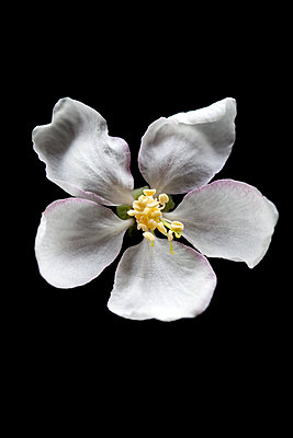 Apple blossom against black background - p1248m2179128 by miguel sobreira
