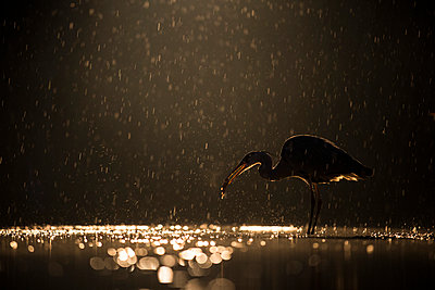 Grey Heron  with fish prey during rainfall at night, Kiskunsag National Park, Hungary - p884m1145411 by John Gooday/ NIS