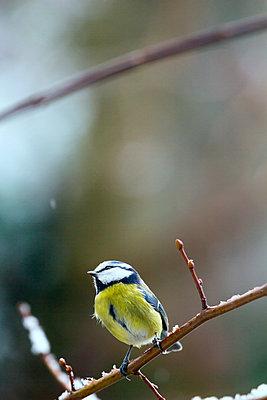 Blue tit in winter - p739m955621 by Baertels