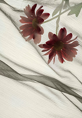 Flowers under veil - p971m1425434 by Reilika Landen