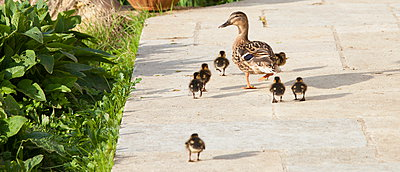 Female mallard duck with new ducklings, Anas platyrhynchos, strolling on garden patio in springtime at Swinbrook, the Cotswolds, UK - p871m895857 by Tim Graham