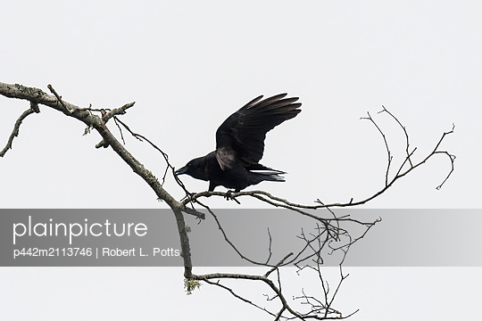 An American Crow (Corvus brachyrhynchos) collects nesting material; Astoria, Oregon, United States of America - p442m2113746 by Robert L. Potts