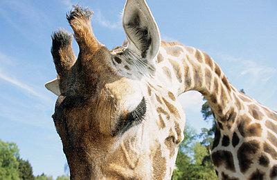 Giraffe - p0451212 by Jasmin Sander