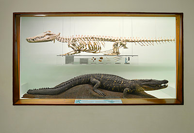 Stuffed Crocodile and Skeleton in Museum - p1072m2164570 by Neville Mountford-Hoare