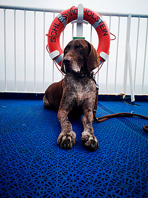 German shorthaired pointer on a ferry - p551m2192154 by kaipeterstakespictures