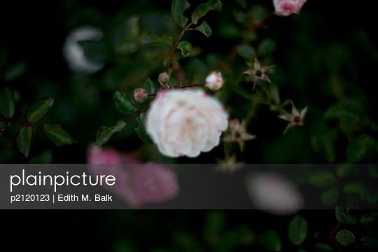 Rosenstrauch - p2120123 von Edith M. Balk