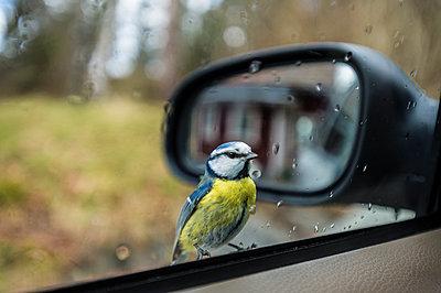 Bird perching on car - p312m2050590 by Fredrik Schlyter