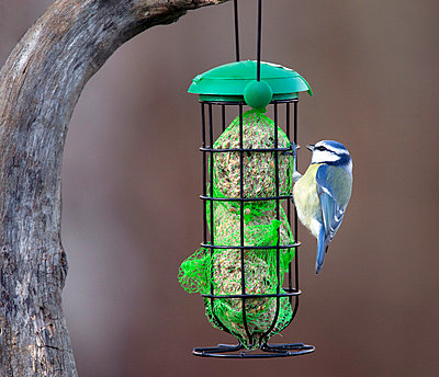 Blue tit perching on bird feeder - p575m718469f by Anders Modig