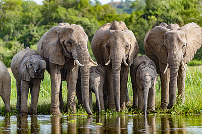 Uganda, Murchison Falls National Park. An elephant family drinking at the edge of the river. - p651m2032685 by Jonathan & Angela Scott