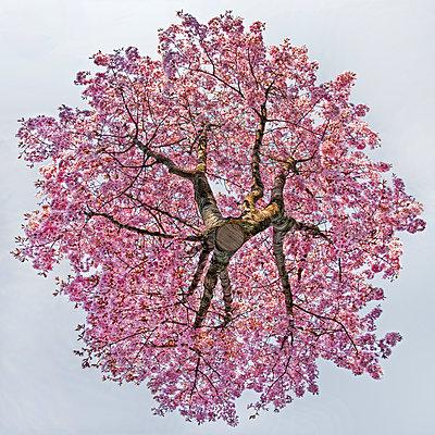 Hovering cherry tree - p824m2116933 by jochen leisinger