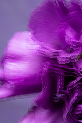 Purple carnation against gray background - p919m2195660 by Beowulf Sheehan