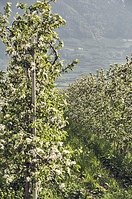 Apple blossom in Meran - p1305m1138625 by Hammerbacher