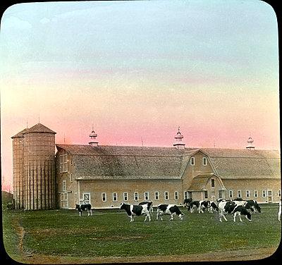 Holstein Cattle, Dairy Barns and Silos, Moorhead, Minnesota, Magic Lantern Slide, circa 1910 - p694m992731 by Circa Images