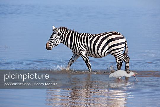 Zebra und Rosalöffler - p533m1152663 von Böhm Monika