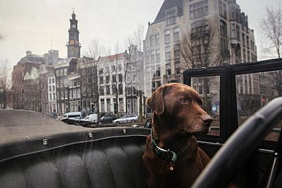 Hund im Auto - p1357m1207518 von Amadeus Waldner