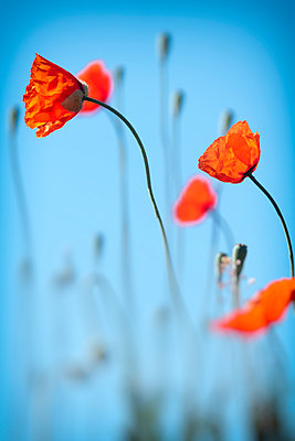 Corn poppies - p739m1138438 by Baertels
