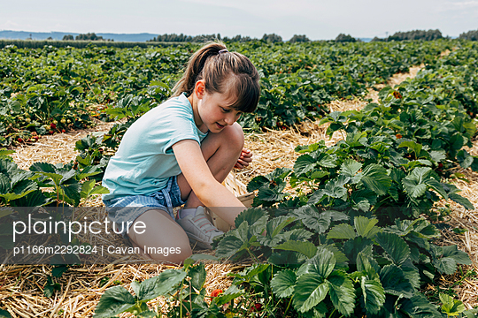 A girl  collects strawberries from a bush on a field - p1166m2292824 by Cavan Images