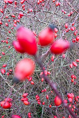 Hagebuttenzweige mit Früchten - p1079m1552905 von Ulrich Mertens