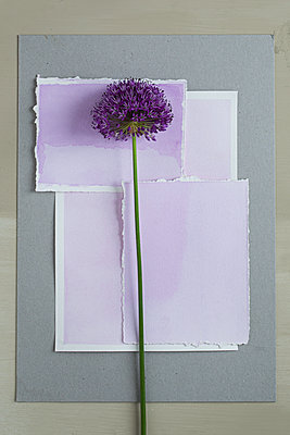 Allium flower on papers - p1470m1539192 by julie davenport