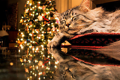 Maine Coon cat sleeps in basket, reflecting with Christmas tree lights on granite kitchen counter; Anchorage, Alaska, United States of America - p442m1442343 by Marion Owen