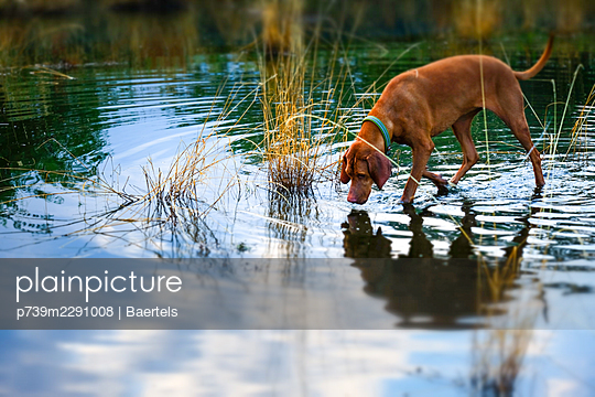 Hunting dog tracking a scent in shallow water - p739m2291008 by Baertels