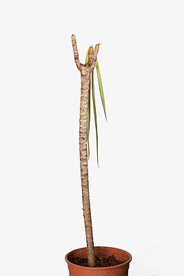 Diseased houseplant  - p1149m1109241 by Yvonne Röder