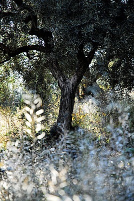 Olive tree - p1468m1527633 by Philippe Leroux