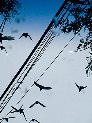 Birds flying by telephone wires, Brazil. - p31224588f by Ellinor Hall