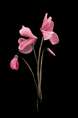 Pink cyclamen against black background - p1366m2260587 by anne schubert