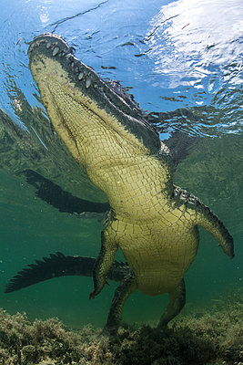 American crocodile (crocodylus acutus) in shallows, low angle view, Chinchorro Banks, Xcalak, Quintana Roo, Mexico - p429m2004480 by Rodrigo Friscione