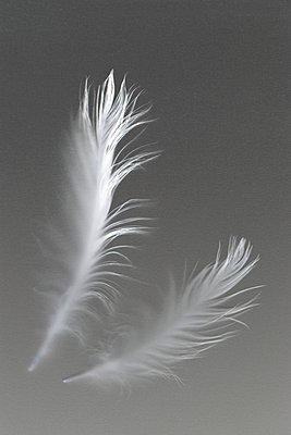 White feathers - p685m1045488 by Lena Kah