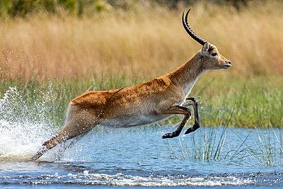 Botswana, Hunda Island, Okavango Delta. A Red Lechwe taking a leap over shallow water. - p652m1505120 by Nigel Pavitt
