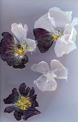 Blütenblätter - p945m2163791 von aurelia frey